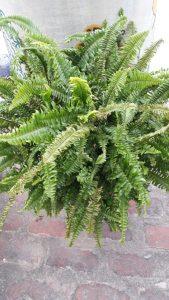 Fern Rainforest Plant