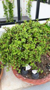 Jade Rainforest Plant