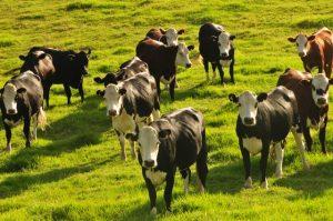 New Zealand Cows - Unsplash