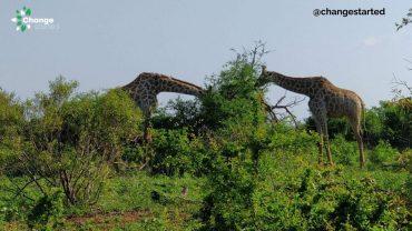 Eating Giraffe